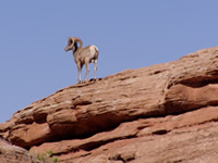 Hidden Nature- Arches NP- Desert Bighorn