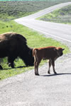 Explore Roadside Nature - Yellowstone NP Bison Calves