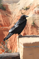 Explore Roadside Nature- Bryce Canyon NP Raven
