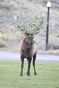 Explore Roadside Nature- Yellowstone NP Bull Elk